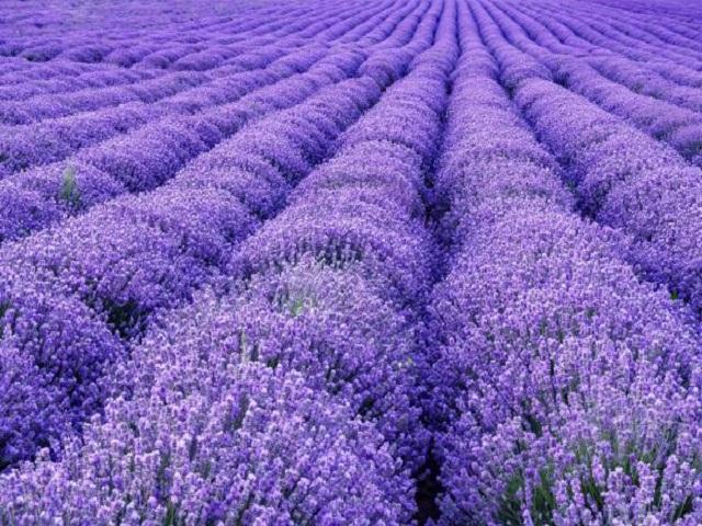 Lavendelsäckchen und ihre Anwendung: als Duftkissen und Mottenschutz